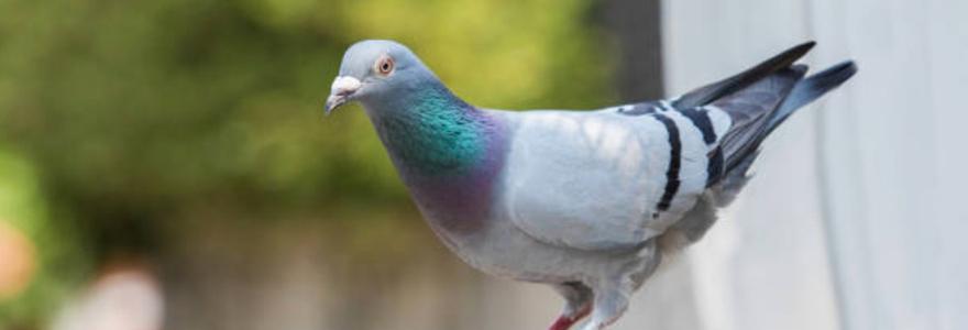 débarrasser des pigeons d'un balcon